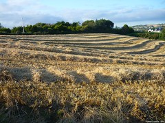 Harvest - Day 02 (O Suave Gigante) Tags: ireland blackwater wexford curracloe ballinesker ballinaclash ballyconnigar ravennaturereserve ravennaturereservewexford ballynaclash