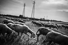 [sheep and shepherds] (Luca Napoli [lucanapoli.altervista.org]) Tags: blackandwhite lucanapoli sheepandshepherds