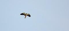 Colorare il cielo.. (Dilet) Tags: natura uccelli birdwatching animali ghiandaia cupinoro