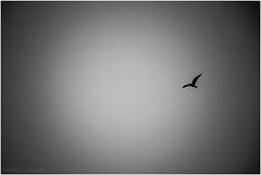 alone (Martin.Matyas) Tags: bw animal animals canon abend tiere blackwhite sw vögel schwarzweiss möwe schwarz tier vogel aktion 2013 canonefs1785isusm schwarzweissfoto eos7d