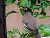 DSC00093 (swapnil_sk) Tags: india bird indian mumbai indien biene religiosa myna commonmyna graculareligiosa dombivli indianmyna gracula