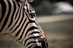 Zbre (Joris Favraud) Tags: bear wild baby elephant love nature canon zoo monkey fight alone close natur lion safari zebra shooting giraffe combat skippy panther 70200 joris ours singe sauvage kangourou zebre panthere lemurien 5d3 5dmark3 favraud