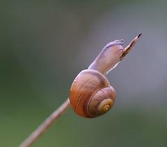 """I'm going up, up, up!"" (Jaedde & Sis) Tags: snegl snail macro diagonal pregamesweepwinner storybookwinner fotocompetition fotobronze pregameduelwinner storybookttwwinner bbq fotocompetitionsilver fotosilver challengeclubwinner tphofweek243 thepinnaclehof acfy achallengeforyou autofocus gamesweepwinner challengefactorywinner thechallengefactory friendlychallenges flickrchallengewinner flickrchallengegroup"