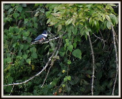 (uncle mike in knoxville) Tags: bird kingfisher