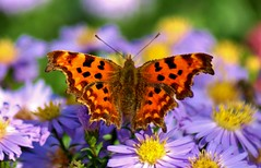 Comma Butterfly (Paul (Barniegoog)) Tags: butterfly comma