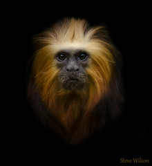 Portrait on Black (Steve Wilson - over 8 million views Thanks !!) Tags: uk greatbritain brazil portrait england black macro nature face animal america mammal gold zoo monkey golden miniature amazon nikon rainforest cheshire britain background wildlife south great lion conservation chester jungle tropical captive primate headed captivity tamarin upton onblack chesterzoo liontamarin d7000 caughall nikond7000