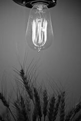20131005-385 (cloesner) Tags: newyorkcity bw plant bulb blackwhite wheat filament highline worldwidephotowalk2013