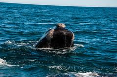 Balenes (faltimiras) Tags: patagonia pinguinos puerto lions whales peninsula valdes argetina madryn magallanes wt leones elefants guanacos ballenas elefantes marinos lleons balenes elephatns coiches