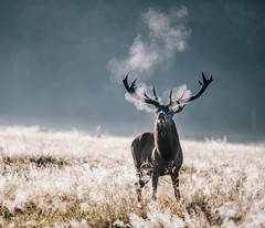 Good Morning. (Crusade.) Tags: park uk england mist london sunrise canon bokeh richmond deer 70200f28 5d2