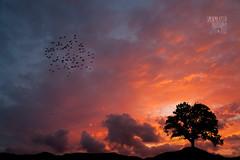 My Sunset [ Explored ] (Simone Malatesta) Tags: sunset panorama sun rome tree art birds clouds canon landscape fly tramonto nuvole 14 sigma ii 5d mm 35 albero mk