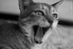 Mas com esse sono!? (eltonslife) Tags: white black cat pb sleepy gato bocejo