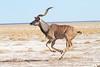 Greater kudu (Tragelaphus strepsiceros) (piazzi1969) Tags: africa canon eos wildlife 7d antelope mammals namibia etosha kudu greaterkudu tragelaphusstrepsiceros