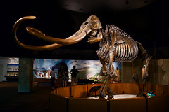 Mammoth Bones (Lorne Thomas) Tags: california museum losangeles nikon mammoth bones tarpit georgecpage nikond800e sigma35mmf14dg