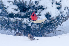 Cardinal and friend (Mike Matney Photography) Tags: winter snow bird weather birds canon illinois midwest cardinal wildlife snowstorm january troy 2014 eos7d