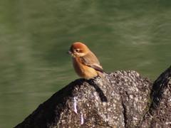 (Polotaro) Tags: bird nature pen olympus  zuiko  12      fzuiko300mmf45 epm2