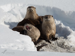 Now Performing at Oxbow Bend… (Ashleigh Scully) Tags: otter otters riverotter oxbowbend otterfamily riverottersnow snakeriverotter otterwinter riverotterwinter