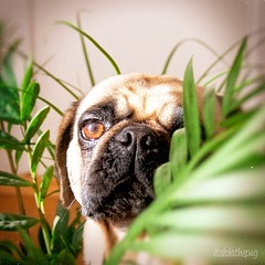 I'm a celebrity...get me out of here! (brat_ro) Tags: dog chien pet pets cute animal cane puppy square fun photography tiere photo funny pretty lol lola adorable pug hund squareformat doggy pugs tier mops carlino iphoneography instagram instagramapp uploaded:by=instagram