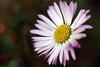 bokehdaisy (MBM phARTographie) Tags: flowers flower nature fleur fleurs bokeh sony sigma alpha proxy a77 mbm anawesomeshot proxymacro alpha77 paquerettemacro phartographie mbmphartographie