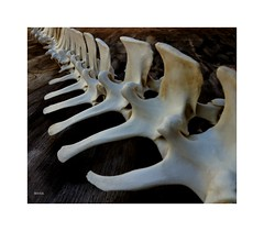 IMG_0268 (Menas Rustic Decor & Country Living) Tags: white art halloween nature animals photography skull flickr photos deer bone spine etsy hivemind menas bodyarmor iphoneography menasrusticdecor