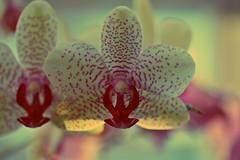 """There are always flowers for those who want to see them."" (stjernesol) Tags: pink orchid flower window beautiful yellow iloveorchids orwildflowers eveninthewinter flowerly iamallergictoallflowers theonlyflowersicanhaveinmyhomesomeorchidsandfreshcutroses iwishicouldhavelillies ortulips iloooveflowers especiallybrightcolourfulones ohwaitilovewhiteonestoo whitetulipsisactuallyoneofmyfavs ilovethatmyorchidsarebloomingvividly makesmenotforgetthatspringandsummerwillcomeyetalloveragain andtheyaresuchajoytophotograph"