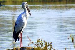 Open bill stork (ranju10) Tags: fuji stork openbill andhrapradesh ranju anastomusoscitans openbillstork ringexcellence dblringexcellence tplringexcellence hs20exr finepixhs20 eltringexcellence ameenpurlake ameenpur aquatcbird