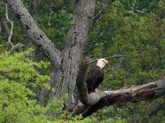 Bald Eagle (matthewbeziat) Tags: usa baldeagle birdsofprey maryland annearundelcounty haliaeetusleucocephalus