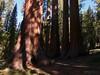 Bachelor and Three Graces, Mariposa Grove - Yosemite National Park, California (Andrea Moscato) Tags: wood trees usa tree verde green nature america giant us ancient unitedstates sequoia giantsequoias bosco statiuniti wawona ancientsequoia flickrsfinestimages1 andreamoscato