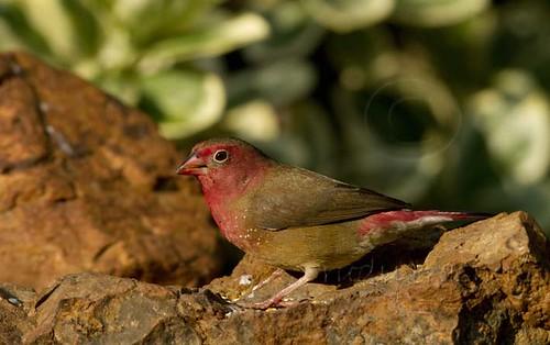 Red-billed Firefinch male_0023
