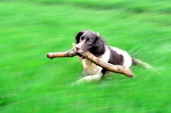 Sod the Easter Eggs give me a stick anyday !! (TrevKerr) Tags: dog nikon spaniel panning englishspringerspaniel d7000