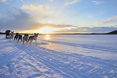 Inari dog sledding (Dani.Noguera) Tags: winter dog snow nature finland circle inari north lapland sledding perros wilderness polar artic circulo finlandia artico laponia ivalo trineos mushig