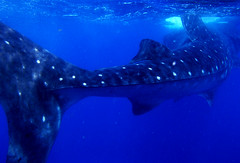King of the Sea (Lehnerya) Tags: ocean life blue light sea wild fish water dark mexico shark amazing wildlife awesome mexican whale caribbean whaleshark dots fin creature fins mexiko xico islaholbox