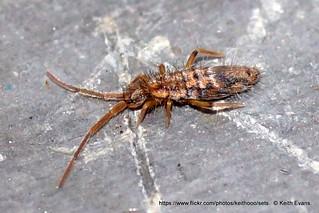feb 12th llangollen, collembola, Entomobrya intermedia.