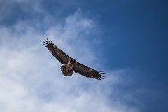 _MG_4563 (Franois Savioz) Tags: montagne alpes switzerland michel ornithology wallis oiseau valais lammergeyer ornithologie gypate