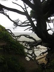 Behind the scenes: Tree Root Cave (daveynin) Tags: ocean tree coast washington branch nps root deaftalent deafoutsidetalent deafoutdoortalent