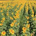 Field Sunflower thumbnail