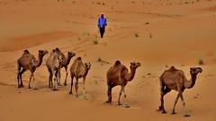 dromedary on the way back (flowerikka) Tags: sand desert dunes uae camels liwaoasis emptyquarter rubalkali desertdromedary apricotandcinnamoncolors