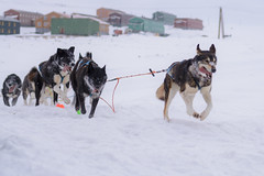 Leading the hound (Benocrash) Tags: dog chien snow norway pole svalbard arctic neige polar sled arctique longyearbyen northernmost polaire norvge traneau d7100