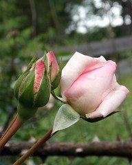 This Buds For You (sdept377) Tags: flowers roses blooming rosebuds