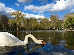 Swan in Boston Public Garden ((Jessica)) Tags: bird nature boston swan downtown wildlife massachusetts newengland publicgarden