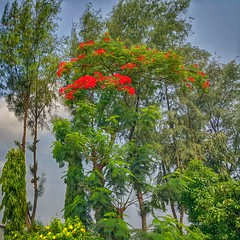 Roadside view of Beautiful Bangladesh! (Curious ClickZ) Tags: trees sky flower tree nature beauty clouds landscape outdoor roadside hdr naturelovers note4 beautifulbangladesh samsunggalaxynote4