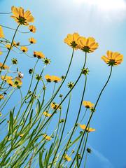 PhoTones Works #7886 (TAKUMA KIMURA) Tags: plant flower nature yellow japan landscape scenery air olympus jp    cosmos   okayama kimura     sulphureus takuma  a01    photones