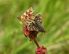Kalkgraslanddikkopjes (Omroep Zeeland) Tags: vlinders