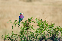 lilac-breasted roller (sixthofdecember) Tags: africa travel bird nature grass sunshine birds animal animals tanzania outside outdoors nationalpark nikon wildlife dry sunny safari grassland tamron tarangire gamedrive dryseason lilacbreastedroller tarangirenationalpark gabelracke tamron18270 nikond5100