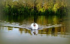 Symmetrical swan (yooperann) Tags: county trees light lake pine swimming reflections golden swan bass michigan upper peninsula mute marquette gwinn