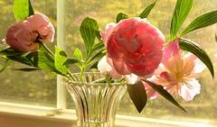 Pretty In Pink! (Reed 1949) Tags: pink flowers window petals nikon peony vase tamron18270mm nikond5200