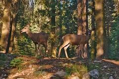 DSC04954 (deerhake.11) Tags: deer sequoianationalpark