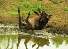be very careful... (tdwrsa) Tags: buffalo krugerpark bergendal mudbath