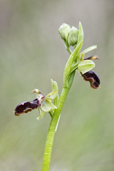 Lateralus (Rafael Díez) Tags: españa naturaleza macro primavera orquídea matute larioja rafaeldíez