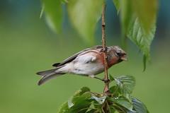 Redpoll (Chris*Bolton) Tags: ireland tree bird nature birds garden branch wildlife perch perched wicklow avian redpoll perching redpolls rathdrum ballygannon
