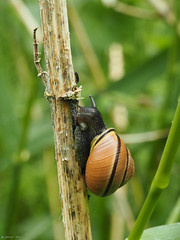 Snailing up (jesse_the_ros) Tags: brown black macro nature netherlands animal insect photography spring stem grove outdoor exploring may snail olympus explore 60mm wandering animalia mollusca gastropoda helicidae bleiswijk rottemeren cepaea nemoralis brownlipped helicoidea